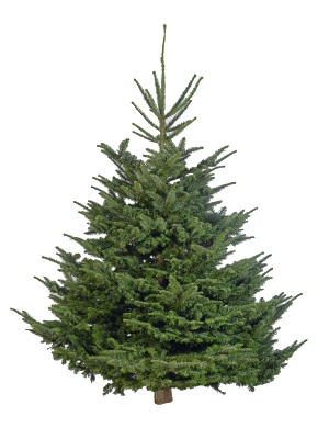 Cut Your Own Christmas Tree Fresh Christmas Tree Non Drop Real