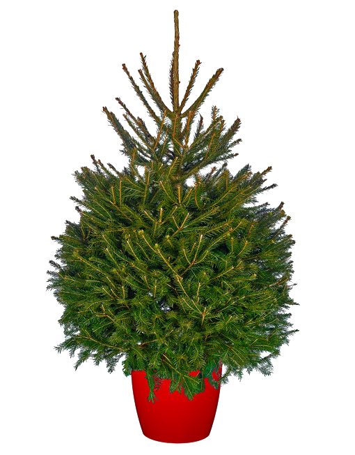 Norway Spruce.png